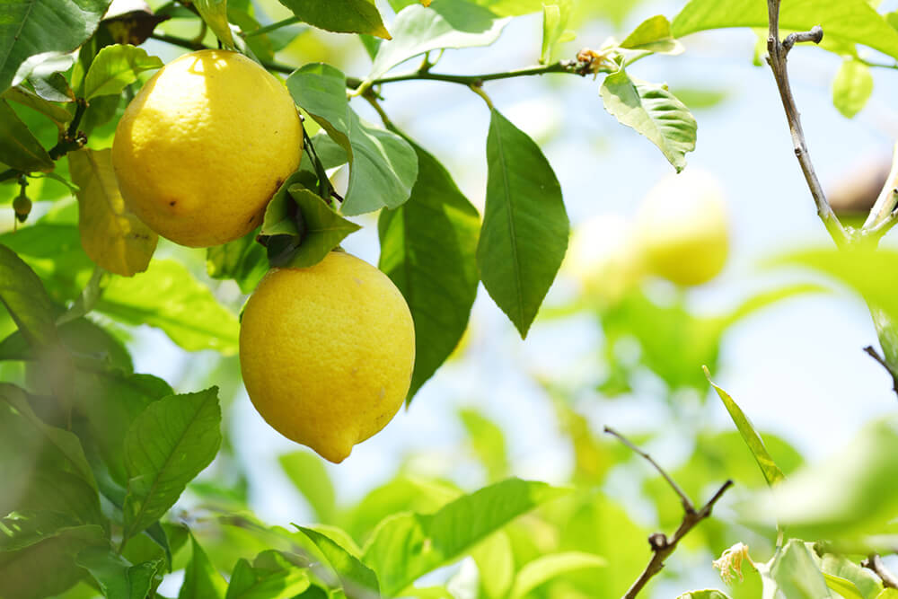 lemon Most Commonly Used Essential Oils and How to Use Them