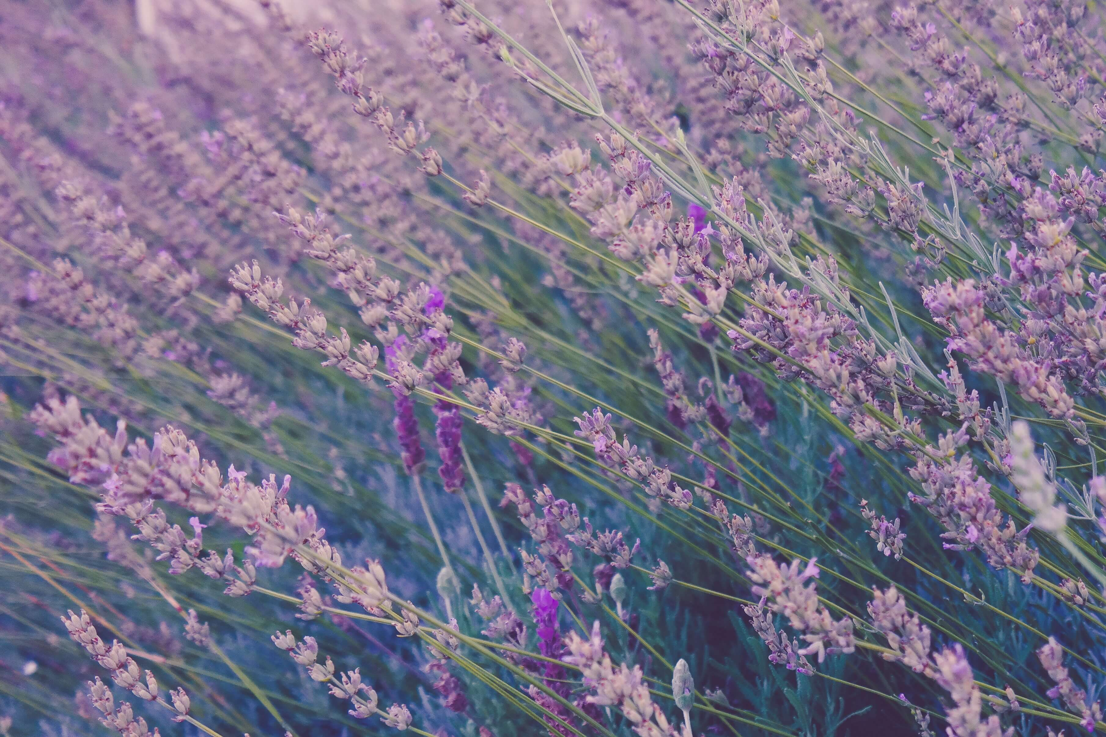 lavendar Most Commonly Used Essential Oils and How to Use Them