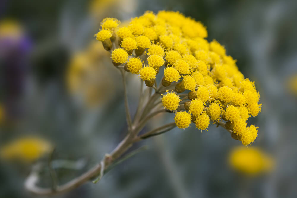 helichrysum Most Commonly Used Essential Oils and How to Use Them
