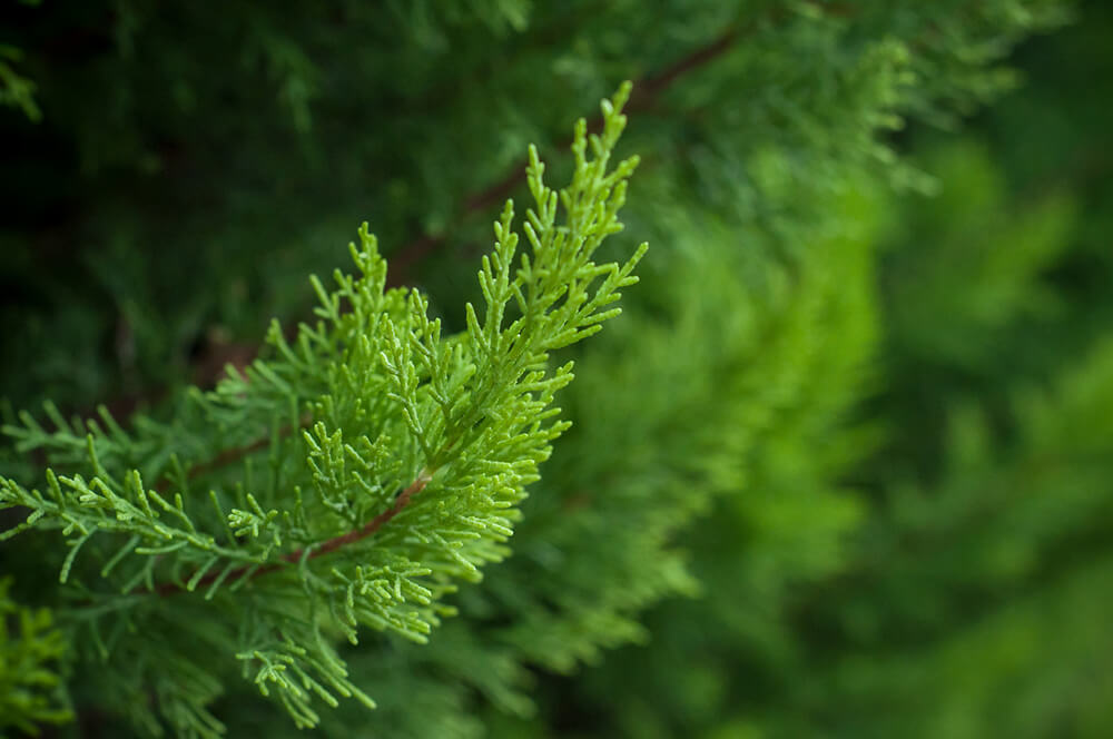 cypress Most Commonly Used Essential Oils and How to Use Them
