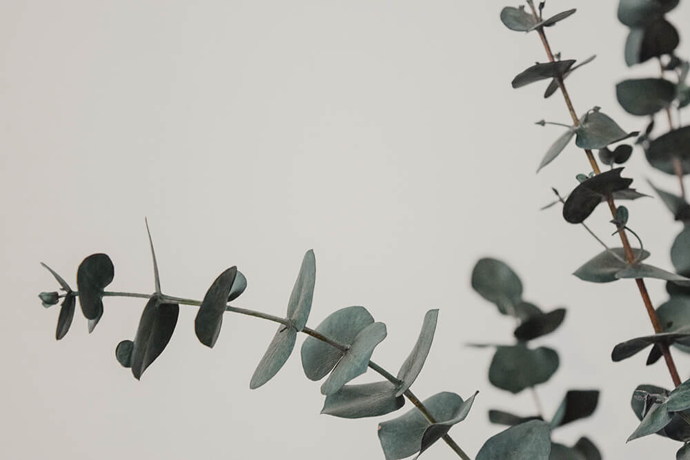 eucalyptus Most Commonly Used Essential Oils and How to Use Them