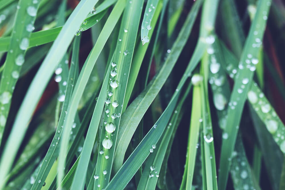 lemongrass Most Commonly Used Essential Oils and How to Use Them