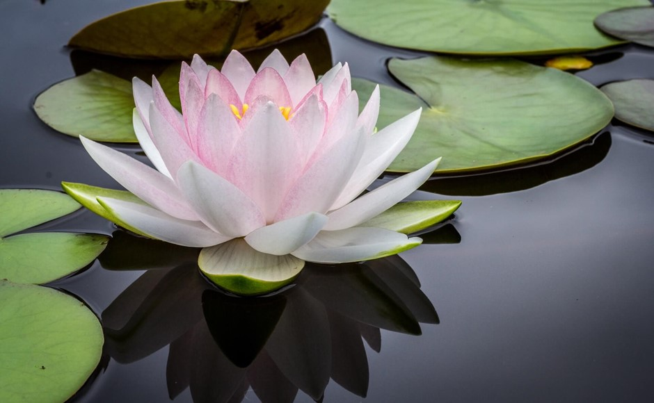 tristhana lotus flower
